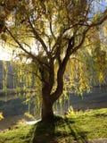 Διάστικτο δέντρο ήλιων Στοκ εικόνα με δικαίωμα ελεύθερης χρήσης