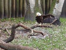 Διάσωση αετών Στοκ φωτογραφία με δικαίωμα ελεύθερης χρήσης