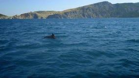 Διάφορα δελφίνια κλωστών που κολυμπούν γρήγορα, porpoising, πηδώντας από το νερό, τόνος κυνηγιού Όμορφο και ευφυές ναυτικό απόθεμα βίντεο