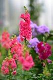 Διάφορα είδη ζωηρόχρωμων λουλουδιών που ανθίζουν κατά τη διάρκεια της άνοιξη στην περιοχή Wintergardens του Ώκλαντ Στοκ εικόνες με δικαίωμα ελεύθερης χρήσης