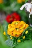 Διάφορα είδη ζωηρόχρωμων λουλουδιών που ανθίζουν κατά τη διάρκεια της άνοιξη στην περιοχή Wintergardens του Ώκλαντ Στοκ Φωτογραφία