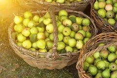 Διάφορα καλάθια με τα αχλάδια που στέκονται στη χλόη, ο ήλιος στοκ φωτογραφία