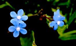 Διάφορα μικρά μπλε λουλούδια Στοκ Εικόνα