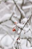 Διάφορα μούρα σορβιών μετά από τον πάγο μαίνονται, βροχή Στοκ Εικόνες