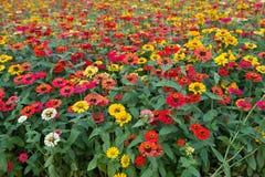 Διάφορα λουλούδια χρυσάνθεμων Στοκ Εικόνες
