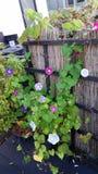 Διάφορα λουλούδια ipoema στον κήπο Στοκ φωτογραφίες με δικαίωμα ελεύθερης χρήσης
