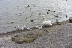 Διάφορα πουλιά και εν πλω ή ακτή λιμνών το χειμώνα στοκ εικόνα