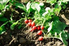 Διάφορα πρόωρα ρόδινα ώριμα ραδίκια στο έδαφος στον κήπο μια ηλιόλουστη ημέρα Ώριμο ραδίκι στον κήπο στοκ εικόνες με δικαίωμα ελεύθερης χρήσης