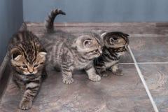 Διάφορα σκωτσέζικες πτυχές και ευθέα γατάκια Στοκ Εικόνες