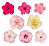 Διάφορα χρώματα λουλουδιών adenium στο άσπρο υπόβαθρο Στοκ Εικόνα