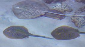 Διάφορα stingrays που επιπλέουν στο βίντεο ρηχών νερών 4K φιλμ μικρού μήκους