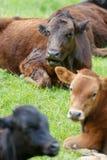 Διάφορες αγελάδες των διαφορετικών χρωμάτων στηρίζονται σε ένα πράσινο λιβάδι την άνοιξη Στοκ Εικόνες