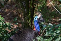 Διάφορες εικόνες του πουλιού κασουαρίων Στοκ Εικόνες