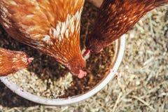 Διάφορες καφετιές κότες ραμφίζουν την τροφή από τα κύπελλα στοκ εικόνες