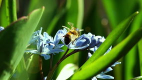 Διάφορες μέλισσες επικονιάζουν τα νέα λουλούδια ανοίξεων φιλμ μικρού μήκους