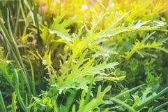 Διάφορες σαλάτες - σαλάτα μαρούλι-σαλάτας με την πράσινη μουστάρδα στον κήπο του αστικού φυτικού κήπου στοκ φωτογραφίες