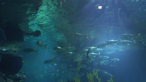 Διάφοροι καρχαρίες κολυμπούν στο βαθύ Ακτίνες του φωτός μέσω υποβρύχιου και φωτισμένος το δύσκολο κατώτατο σημείο φιλμ μικρού μήκους