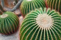 Διάφοροι μεγάλοι στρογγυλοί κάκτοι στο θερμοκήπιο στοκ εικόνα