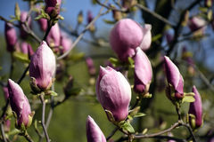 Διάφοροι ρόδινοι οφθαλμοί magnolia Στοκ εικόνα με δικαίωμα ελεύθερης χρήσης