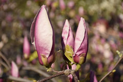 Διάφοροι ρόδινοι οφθαλμοί magnolia Στοκ Εικόνες