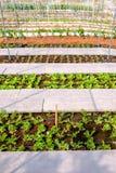 Διάφοροι τύποι φρέσκων λαχανικών που φυτεύονται στην πλοκή λαχανικών Στοκ φωτογραφίες με δικαίωμα ελεύθερης χρήσης