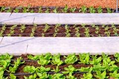 Διάφοροι τύποι φρέσκων λαχανικών που φυτεύονται στην πλοκή λαχανικών Στοκ Εικόνες