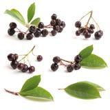 Διάφορος μαύρος chokeberry Στοκ Εικόνα