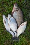Διάφορο κοινά bream ψάρια και ασημένιο bream ή άσπρου bream αλιεύουν το ο Στοκ Εικόνα