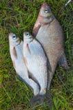Διάφορο κοινά bream ψάρια και ασημένιο bream ή άσπρου bream αλιεύουν το ο Στοκ εικόνα με δικαίωμα ελεύθερης χρήσης
