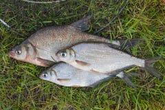 Διάφορο κοινά bream ψάρια και ασημένιο bream ή άσπρου bream αλιεύουν το ο Στοκ εικόνες με δικαίωμα ελεύθερης χρήσης