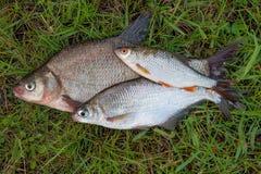 Διάφορο κοινά bream ψάρια και ασημένιο bream ή άσπρου bream αλιεύουν, Στοκ Εικόνες