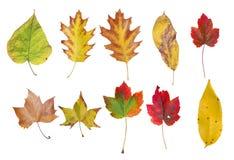 Διάφορο φυσικό χρωματισμένο φύλλο φθινοπώρου από το δέντρο που απομονώνεται στο λευκό Στοκ φωτογραφία με δικαίωμα ελεύθερης χρήσης