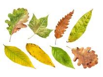 Διάφορο φύλλο φύσης φθινοπώρου από το περιβάλλον βοτανικής που απομονώνεται Στοκ Εικόνα