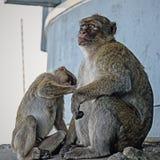 Διαβίωση στο αγγλικό Γιβραλτάρ macaque Στοκ Φωτογραφίες