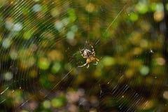 Διαγώνια αράχνη γραμμάτων Τ Στοκ Φωτογραφία