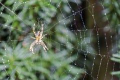 Διαγώνια αράχνη κήπων, diadematus Araneus, που περιμένει σε καθαρό Στοκ Εικόνα