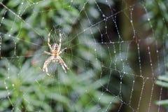 Διαγώνια αράχνη κήπων, diadematus Araneus, που περιμένει σε καθαρό Στοκ Εικόνες