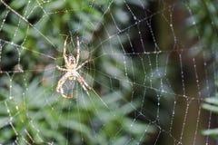 Διαγώνια αράχνη κήπων, diadematus Araneus, που περιμένει σε καθαρό Στοκ φωτογραφία με δικαίωμα ελεύθερης χρήσης