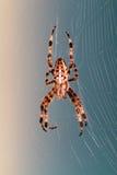 Διαγώνια αράχνη σε ένα δίκτυο Στοκ Φωτογραφία