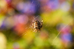 Διαγώνια αράχνη στη μέση του Ιστού του Στοκ φωτογραφία με δικαίωμα ελεύθερης χρήσης