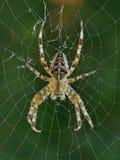 Διαγώνια αράχνη στον Ιστό της σε ένα πράσινο κλίμα Στοκ εικόνα με δικαίωμα ελεύθερης χρήσης