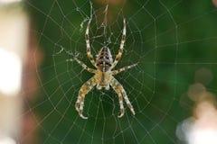 Διαγώνια αράχνη στον Ιστό της σε ένα πράσινο κλίμα Στοκ φωτογραφία με δικαίωμα ελεύθερης χρήσης