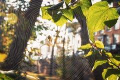Διαγώνια αράχνη στον Ιστό του που απολαμβάνει τον ήλιο φθινοπώρου Στοκ Εικόνες