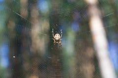 Διαγώνια αράχνη στον Ιστό Στοκ Φωτογραφίες