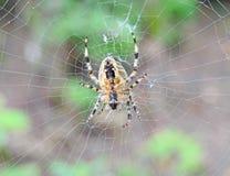 Διαγώνια αράχνη στο δίχτυ του Στοκ εικόνες με δικαίωμα ελεύθερης χρήσης