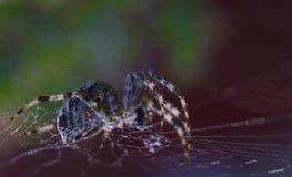Διαγώνια αράχνη στο χρήσιμο έντομο κήπων Ιστού Στοκ εικόνα με δικαίωμα ελεύθερης χρήσης