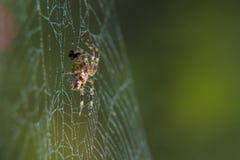 Διαγώνια αράχνη στο χρήσιμο έντομο κήπων Ιστού Στοκ Φωτογραφίες