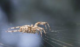 Διαγώνια αράχνη στο χρήσιμο έντομο κήπων Ιστού Στοκ Εικόνες