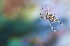 Διαγώνια αράχνη στο χρήσιμο έντομο κήπων Ιστού Στοκ εικόνες με δικαίωμα ελεύθερης χρήσης