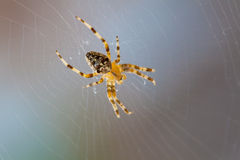 διαγώνια αράχνη Στοκ Εικόνα